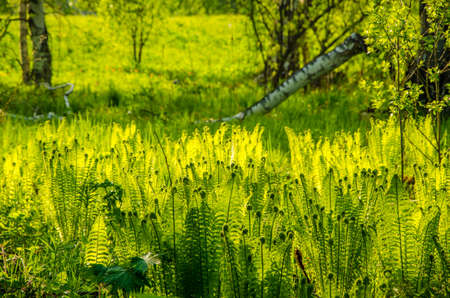 provide: summer landscape . fern growing in the summer forest. the suns rays pass through the plant and provide pleasant shade