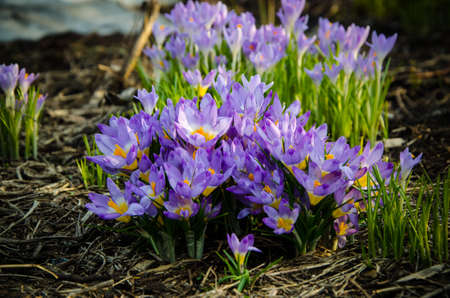 Young crocuses just started to blossom. flower