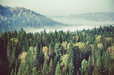 fog forest: thick fog covered with thick coniferous forest. forest with a birds eye view . coniferous trees, thickets of green forest. fog covered with thick coniferous forest.