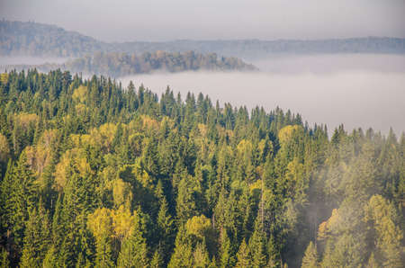 conifer tree at the top in the morning mist. thick morning mist in coniferous forest. thickets of green forest. Stock Photo