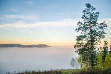 conifer tree at the top in the morning mist. forest with a birds eye view . coniferous trees, thickets of green forest. fog covered with thick coniferous forest.
