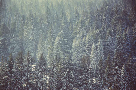 thick fog covered with thick coniferous forest. forest with a birds eye view . coniferous trees, thickets of green forest. fog covered with thick coniferous forest.