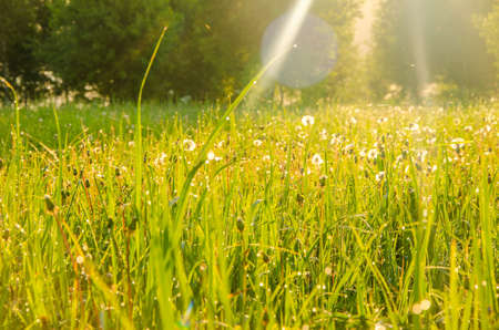 on a green lawn in the early foggy morning . dew on the lush green grass a summer misty morning. the suns rays fall on the wet grass and flowers. dew on the grass in a summer misty morning. Stock Photo