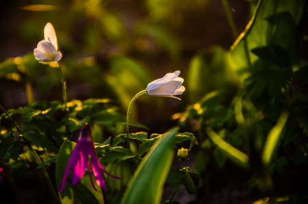 mayflower: spring flowers in the forest. beautiful purple plants. green juicy grass. morning sunrise in the woods Stock Photo