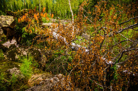 birch fell from the wind. in the mountains. the yellow birch leaves Stock Photo