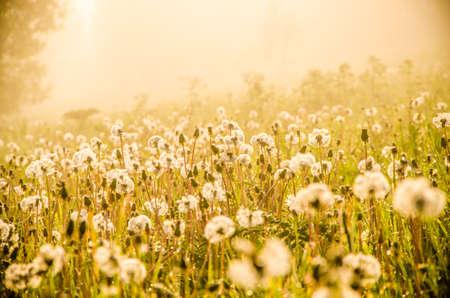 las chowający się we mgle. mniszek lekarski.