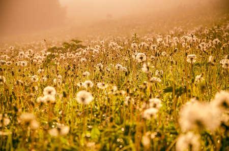 forest hiding in the fog. dandelion. Фото со стока - 120603282