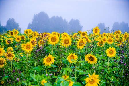 ładne i ciepłe latem pole z kwitnącymi kwiatami słonecznika
