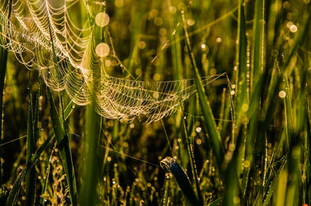 cobwebs in the morning mist. Juicy greens