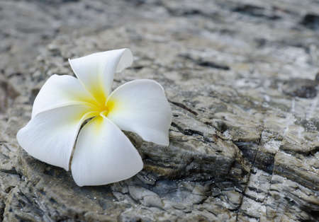 White frangipani on grey rock. Stock Photo - 9313796