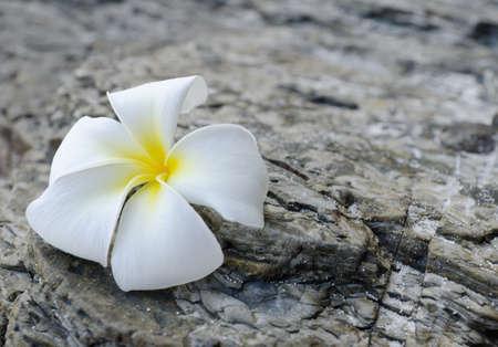 White frangipani on grey rock. Stock Photo - 9313796