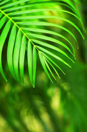 Green tropical garden. Palm leaf closeup. photo