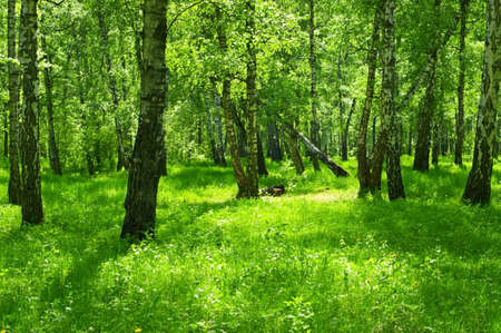 Summer green forest with birch trees. photo