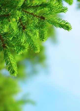 Fresh fir branch in sunshine.  photo