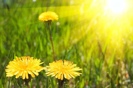summer dandelions bright sunny background photo