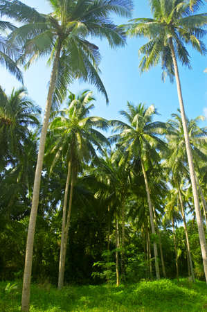 Coconut palmtrees in tropical jungle. photo