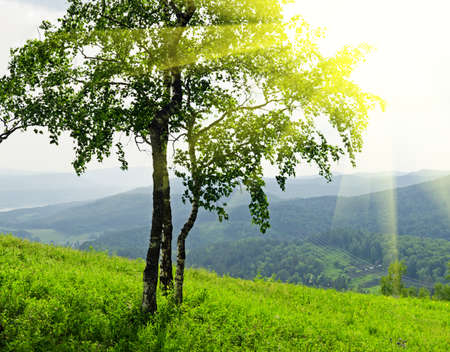 green birch tree in sunlight photo