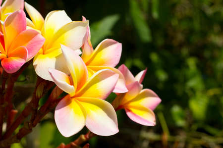 Plumeria (frangipani) on green background. photo