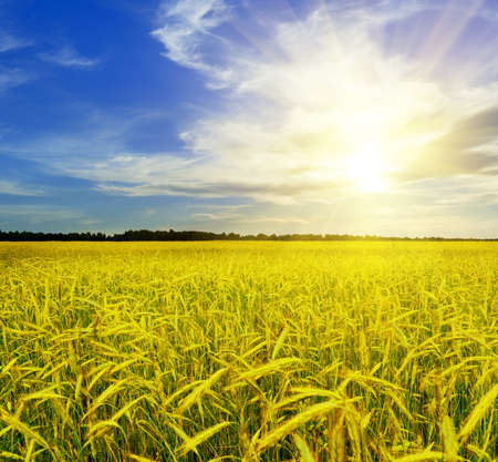 Yellow rye field. Autumn landscape. Stock Photo - 9990279
