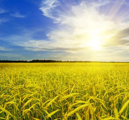 Yellow rye field. Autumn landscape. Stock Photo - 9990279