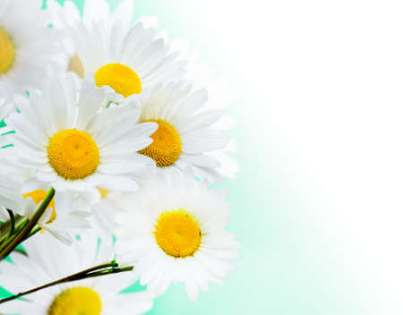 Daisy flowers on green background. photo