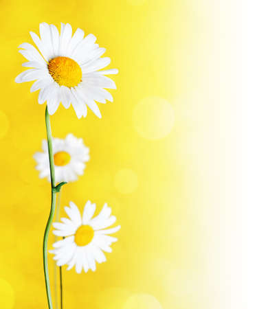 Daisy flowers on yellow background. photo