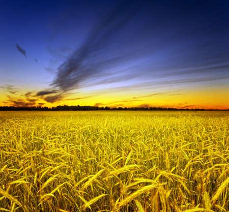 wheat crop: Campo de centeno amarillo. Paisaje de oto�o. Foto de archivo