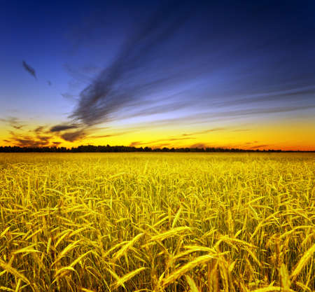 Yellow rye field. Autumn landscape. Stock Photo