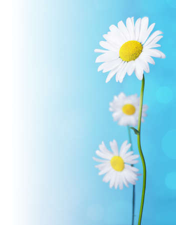 Daisy flowers on blue background. photo