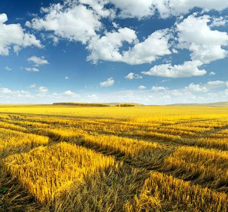 harvest field: Yellow harvest field. Autumn landscape. Stock Photo