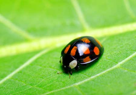 Ladybug on the green leaf. Stock Photo - 10730212