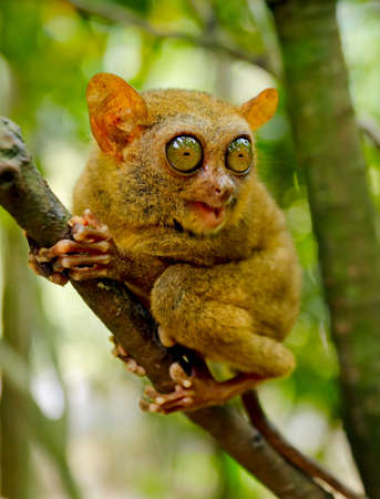 Tarsier on the tree. Bohol island, Philippines. photo