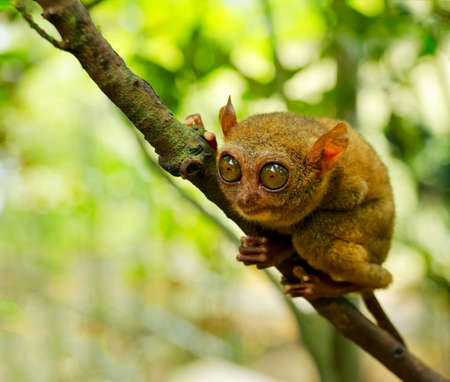 bohol: Tarsier on the tree. Bohol island, Philippines. Stock Photo