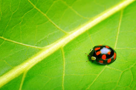 Ladybug on the green leaf. photo