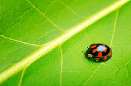 Ladybug on the green leaf. Stock Photo - 12322440