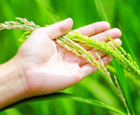 Green rice in woman's hands. Stock Photo - 14124849