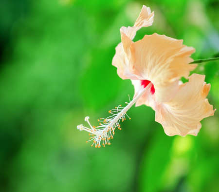 Hibiscus flower on a green background. photo