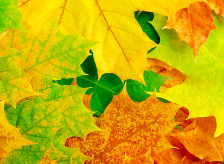 Colourful autumn maple leaves  Background  photo