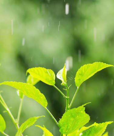 Green foliage under a rain drops. photo
