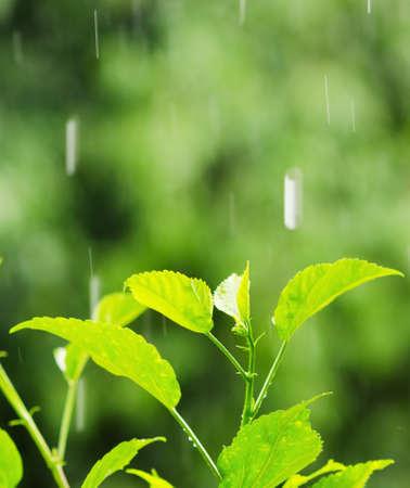 sotto la pioggia: Fogliame verde sotto una pioggia scende