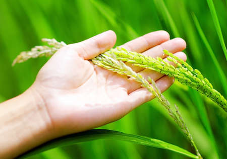 Green rice in womans hands. photo