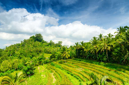 Green rice terraces. Bali, Indonesia. photo