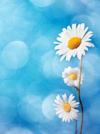 파란색 배경에 데이지 꽃입니다. 스톡 콘텐츠