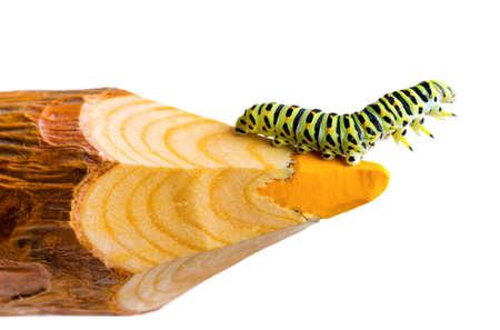 Green caterpillar on wooden pencil.