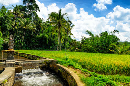 paddy fields: Green rice terraces. Bali, Indonesia.