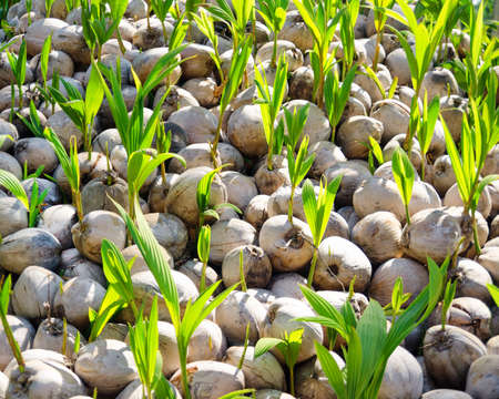 coconut seedlings: Green sprouts of coconut tree.