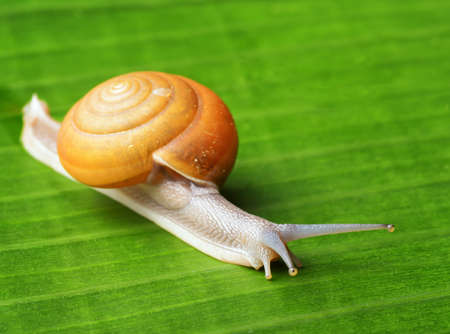 slippery: Snail creeps on green leaf.