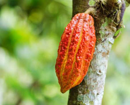 Rijpe cacaoboon op het hout.