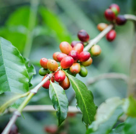 bush bean: Coffee beans on the branch. Robusta Coffee.
