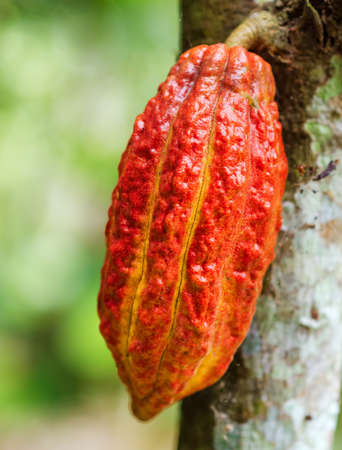 Ripe cacao bean on the wood. Stock Photo